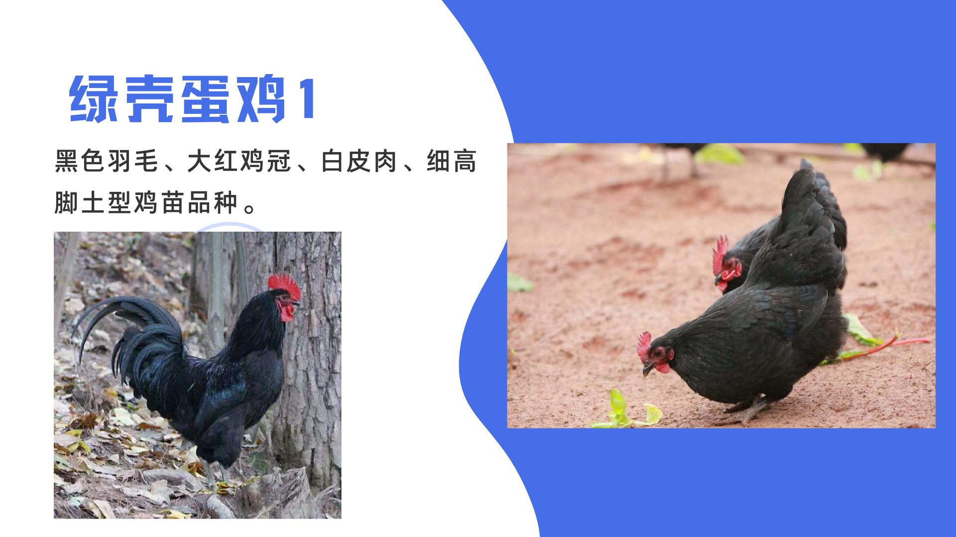 黑羽綠殼蛋雞 紅冠綠殼蛋雞苗 提供雞苗養殖技術學習示例圖1
